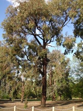 eucalyptus_sideroxylon_3