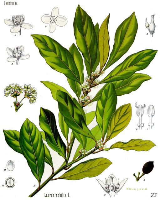 laurus_nobilis_-_ko%cc%88hler-s_medizinal-pflanzen-086