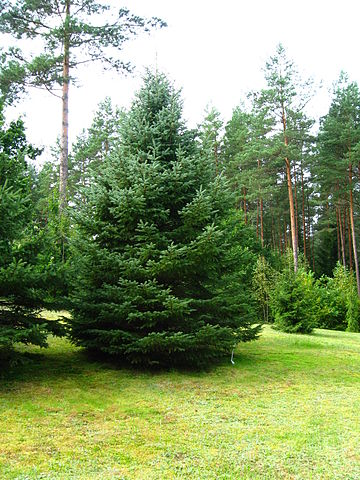 picea-pungens