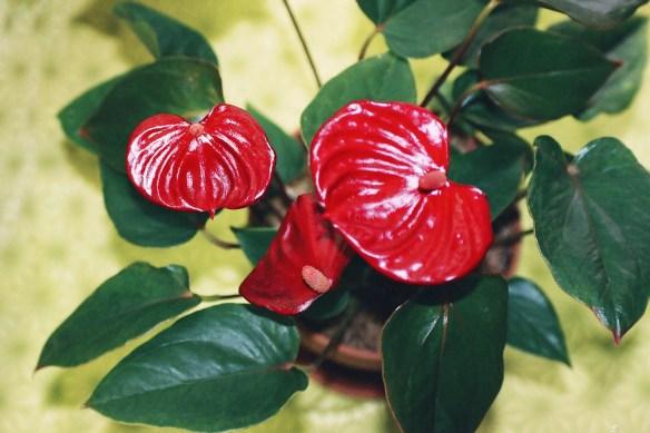anthurium_andraeanum_cultivar_02