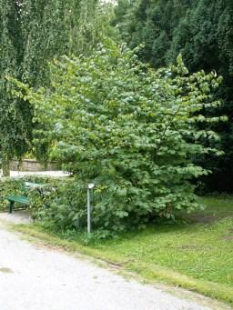 hamamelis_japonica_shrub_august