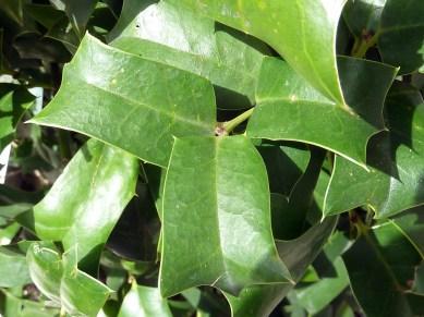 Ilex aquifolium - individuo jóven con hojas rectangulares con espinas solo en el ápice y en los 4 ángulos - Adorno ''Los Sauces'', C./ Conde de Peñalver, 35 - 25.4.13 13.36h