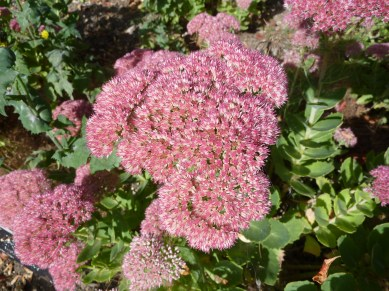 sedum_spectabile_x_s-_telephium_-autumn_joy-_crassulaceae_flower