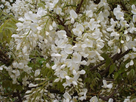 wisteria4