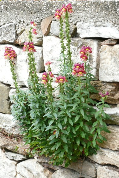 antirrhinum_majus_from_thasos