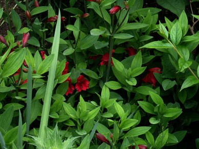 Alstroemeria red hybrids