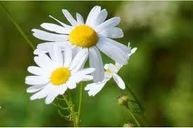 Tidak hanya indah, 5 tanaman bunga yang berkhasiat sebagai tanaman obat