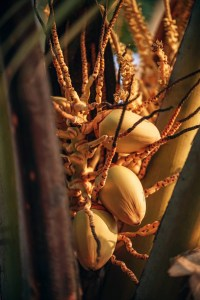 Yellow Coconuts Growing in a Tropical Climate