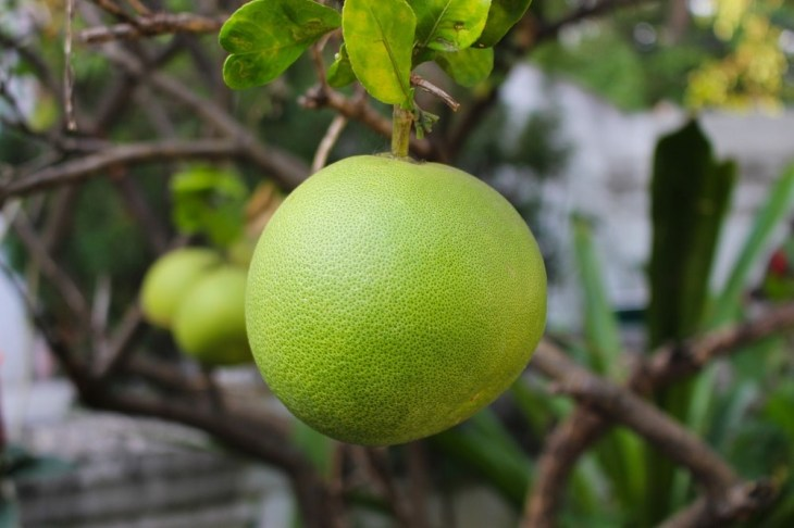 Green pomelo growing on a tree