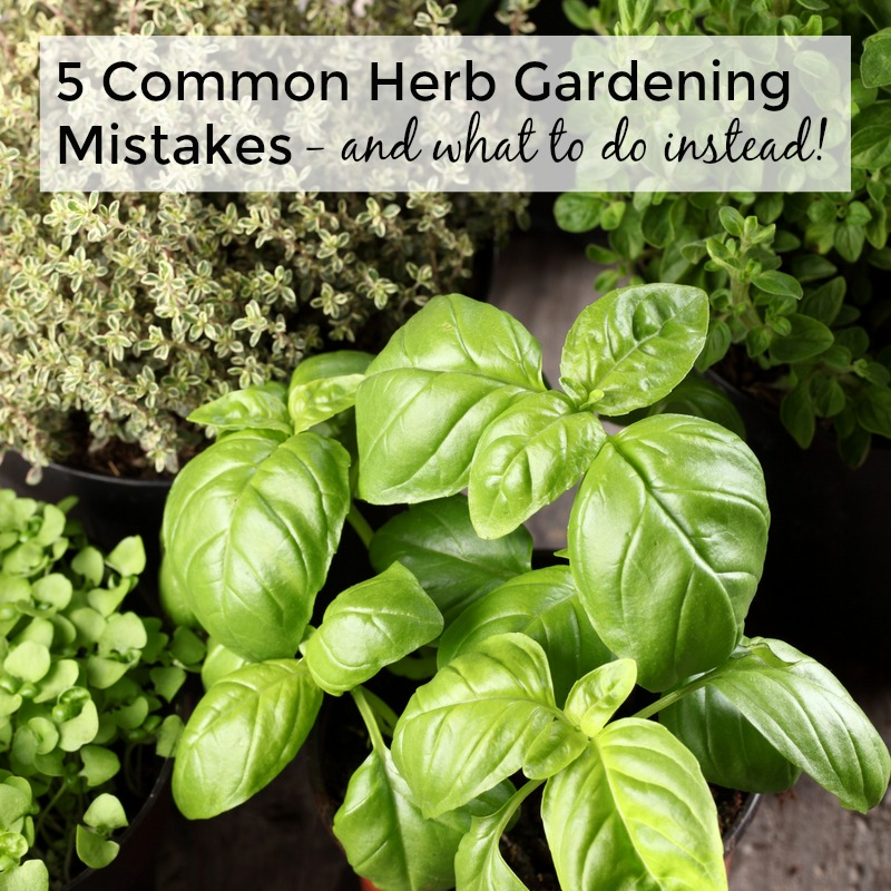 5 Common Herb Gardening Mistakes and What To Do Instead
