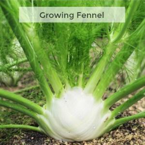 Herb Gardening 101: Growing Fennel