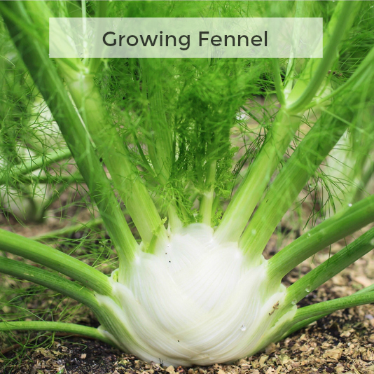 Herb Gardening 101: Growing Fennel