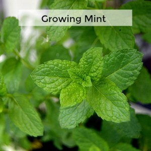 Herb Gardening 101: Tips for Growing Mint