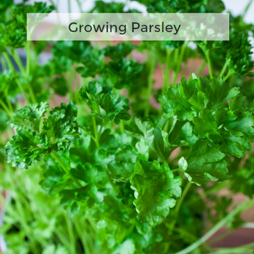 Herb Gardening 101: Tips for Growing Parsley