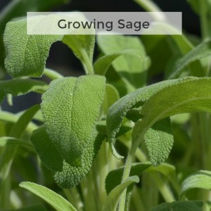 Herb Gardening 101 - Tips for Growing Sage