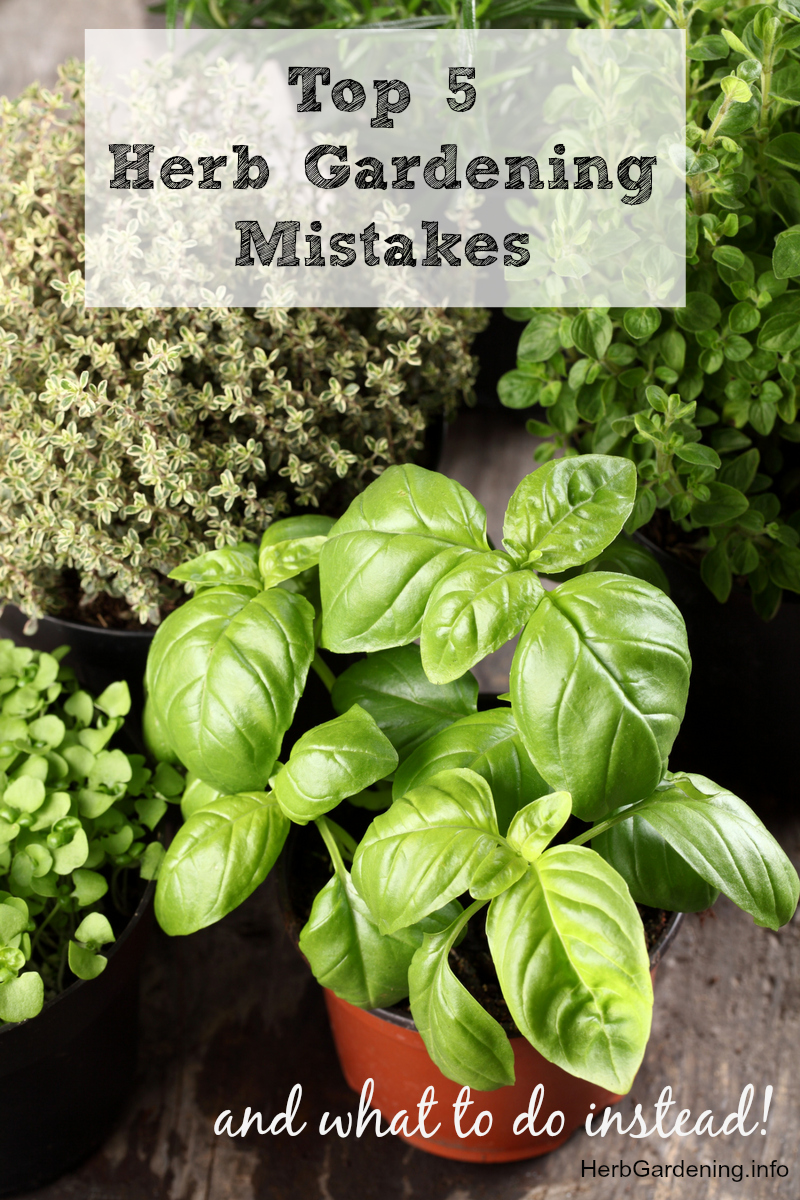 New to herb gardening? Don't make these common herb gardening mistakes! We'll tell you what to avoid and what to do instead.