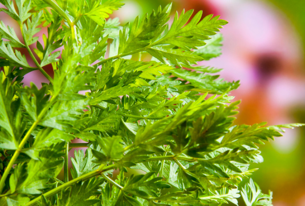 Herbs for Shady Spots: Chervil is a perennial in warm climates and may be grown as an annual in cooler climates.