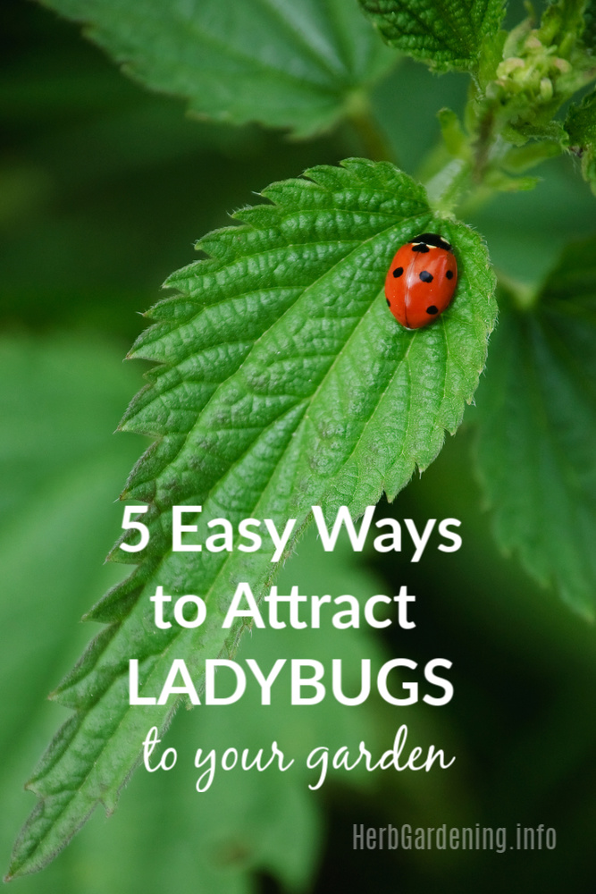 Ladybugs are beneficial insects that will help control the population of other more harmful insects in your garden. Here are 5 ways to attract ladybugs to your garden and help them feel at home. #gardening #organicgardening #ladybugs #herbs #beneficialinsects
