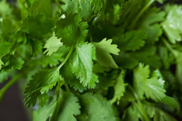 5 herbs to grow on your kitchen window sill: #3 Cilantro