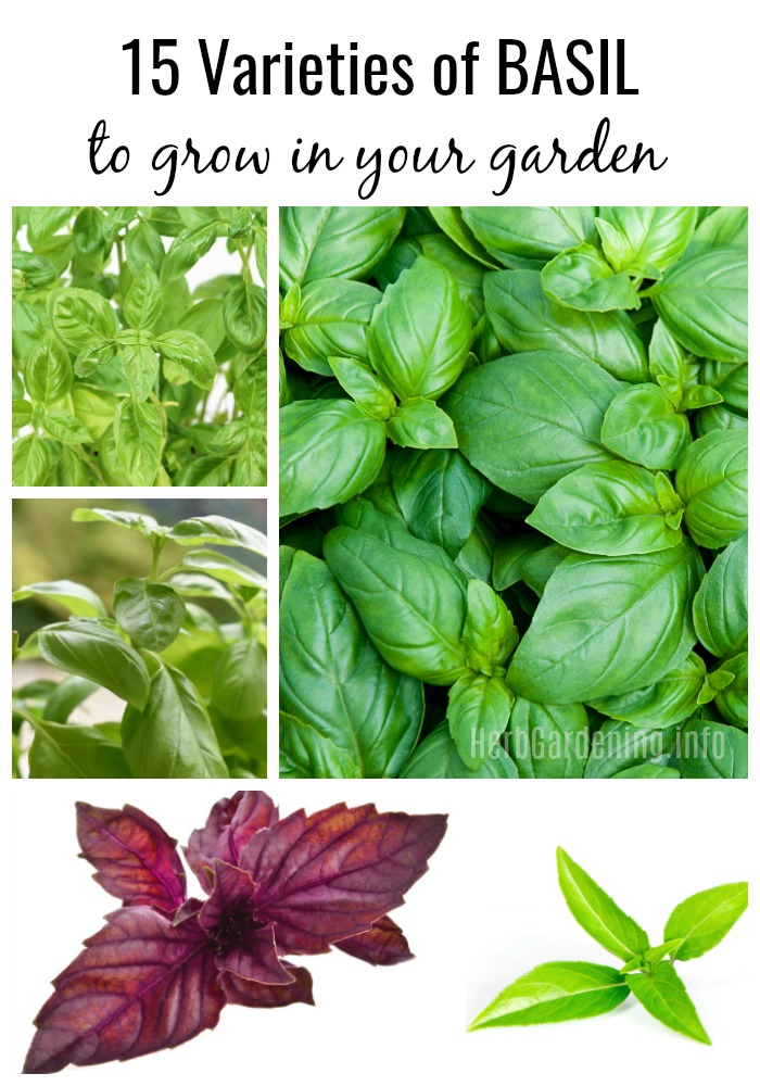 Basil is one of the best herbs to grow if you love to cook, and with so many different varieties of basil to choose from, how can you limit yourself to just one type? #basil #herbs #herbgarden
