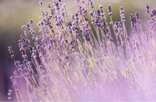 Lavender is a herb well know for its calming properties.