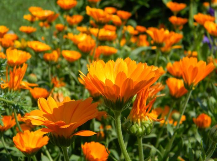 Beautiful herbs for the flower garden: Calendula (pot marigold)