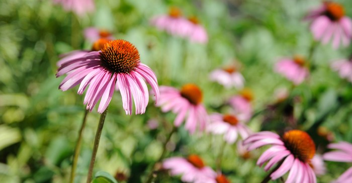 Herbs with Beautiful Flowers: Coneflowers