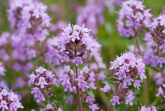 Herbs for the Flower Garden: Thyme