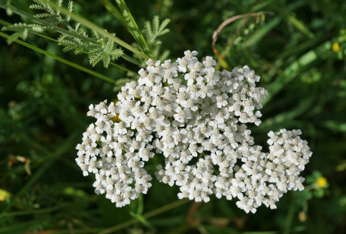 Beautiful herbs for the flower garden: Yarrow