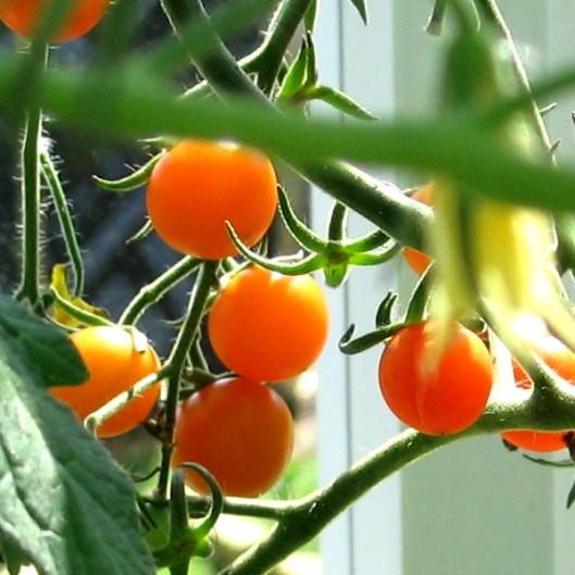 Orange_Tomatoes