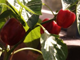 Mid April - red peppers are ripe