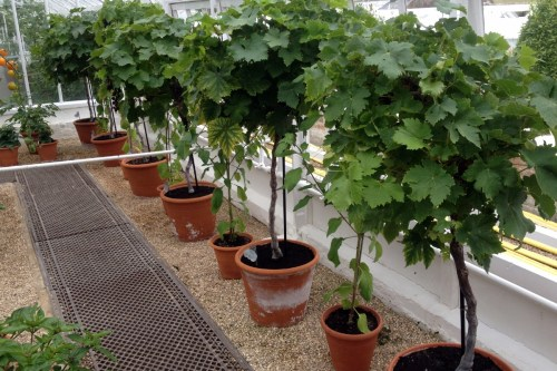 Grape vines grown as standards in pots – is itpractical?