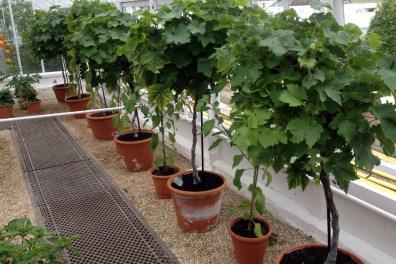Pot grown vines will be very high maintenance