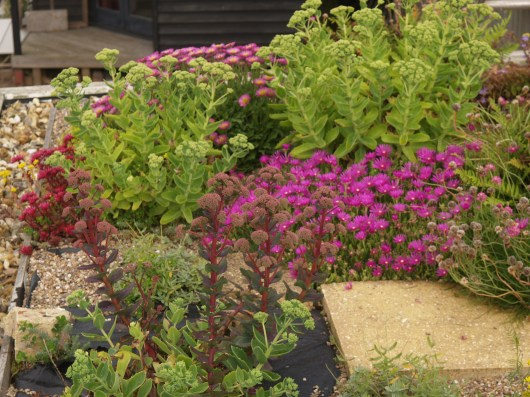 Lampranthus and Sedums