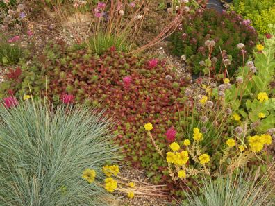 Sedum Dragon's Blood, Festuca glauca