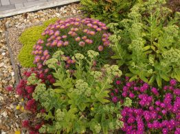 Erigeron and healthy sedum spectabile
