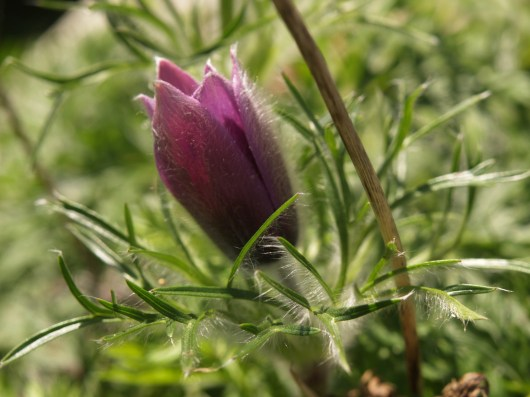 Purple Pasqueflower re-blooming in August
