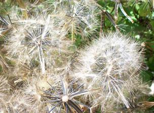 Seedheads of Papaloquelite