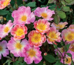 'Watercolors Home Run' is a self-cleaning, disease resistant shrub rose.