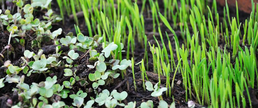 Grow Herbal Microgreens