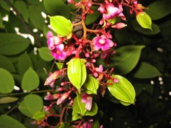 Averrhoa carambola Flor