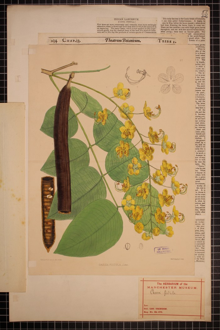 Cassia fistula, Illustration (2)