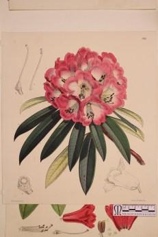 Rhododendron arboreum (3)