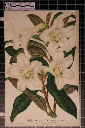 Rhododendron maddeni, Illustration