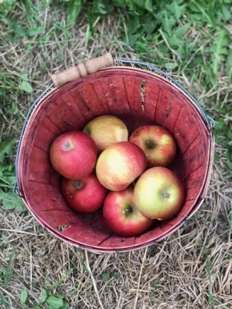 Fresh picked honeycrisp apples