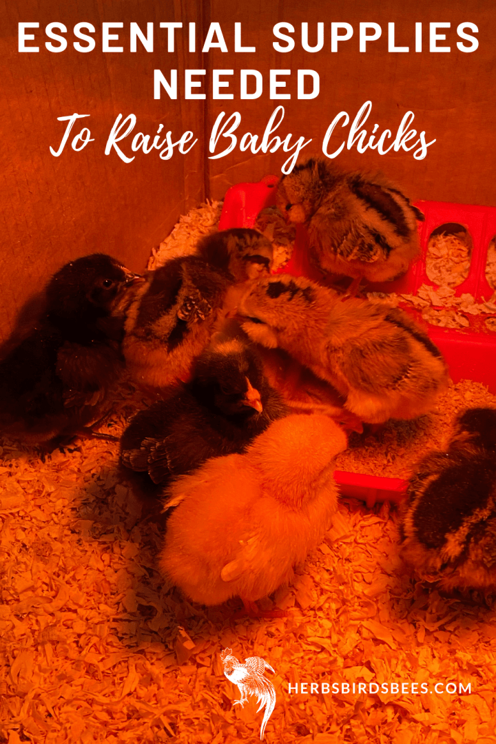Essential Supplies Needed to Raise Baby Chicks