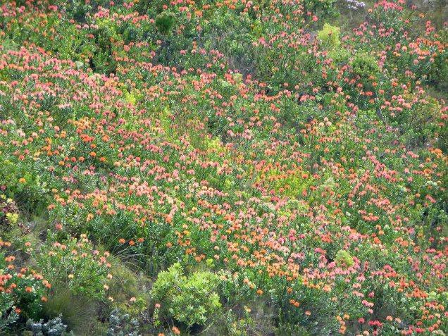 A hillslope of Leucospermum patersonii