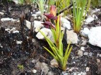 Acrolophia ustulata