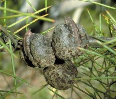 Hakea gibbosa seeds