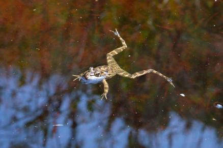 cape-river-frog-2